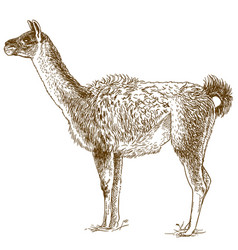 Etching drawing of lama vector