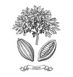 cacao tree and fruits ink sketch vector image