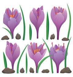 Crocus saffron flowers and leaves 01 vector