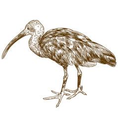 engraving drawing of scarlet ibis vector image