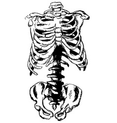 Hand drawn pelvic bone and rib vector image
