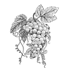 Grape with leaves for wine engraved vector