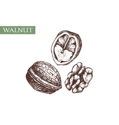 hand drawn walnut botanical vintage nut sketches vector image