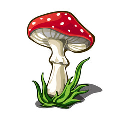 beautiful fly agaric isolated on white background vector image