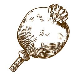 Engraving of poppy pod vector