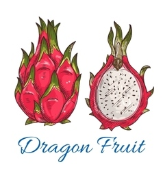 Exotic tropical dragon fruit or pitaya sketch vector