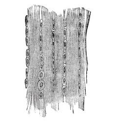 Fibrous tissue of a tendon vintage vector