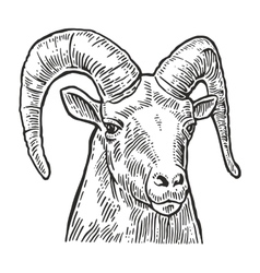 Goat head on white background vector image