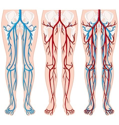 Blood vessels in human legs vector