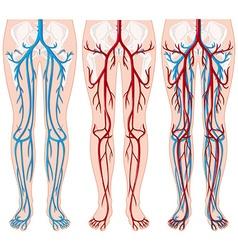Blood vessels in human legs vector