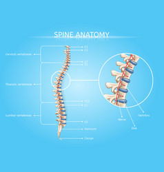 Human spine anatomy medical infographic vector