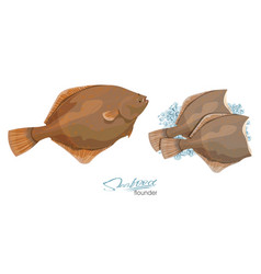Olive flounder sea fish on vector