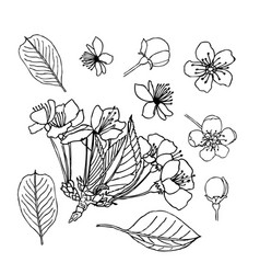 apple blossom leaves flowers buds liner vector image