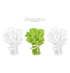 bunch of spinach on white vector image
