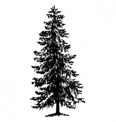 Norway spruce vector