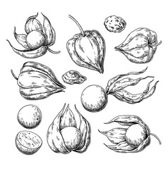 Physalis fruit drawing golden berry sketch vector