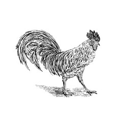 Cock sketch hand drawn vector
