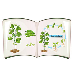 book of bean life cycle vector image