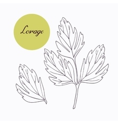 Hand drawn lovage branch with leaves isolated on vector image vector image