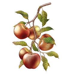 Apple branch hand drawing vintage engraving vector