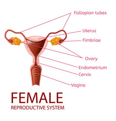 Female reproductive system gynecological banner vector