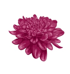 purple dahlia with the effect of a watercolor draw vector image vector image
