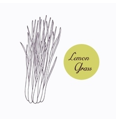 Hand drawn lemongrass branch with leaves isolated vector