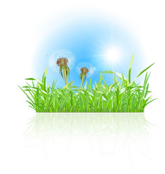 Green grass ith dandelion on white background vector image vector image