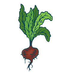 ripe beetroot isolated on a white vector image
