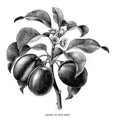 branch of plum botanical vintage engraving vector image