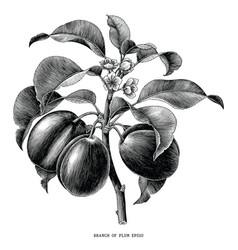 branch plum botanical vintage engraving vector image