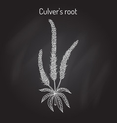 Culvers-root or culverphysic black root vector
