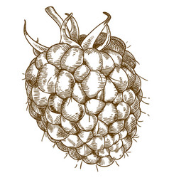 Engraving of raspberry vector