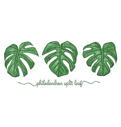 leaves philodendron elements set botany hand vector image