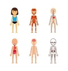 Female body anatomy vector image