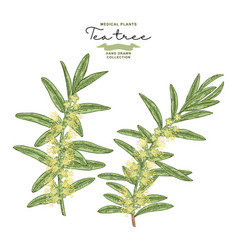 hand drawn tea tree branches with flowers vector image