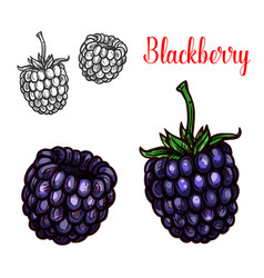 Blackberry fruit sketch of sweet bramble berry vector