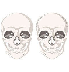 Human skulls on white background vector image