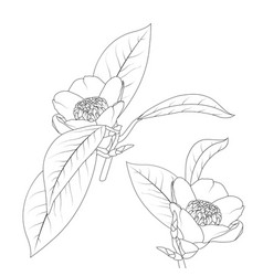 japanese camelia flower with stem and leaves black vector image
