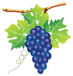 Grape cluster vector
