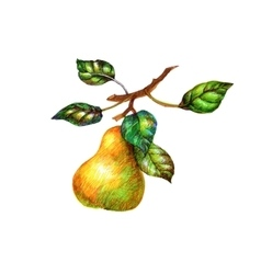 Photo of pears with leaves isolated on white vector image