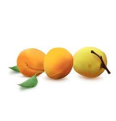 Apricots vector image vector image