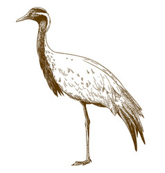 engraving drawing of demoiselle crane vector image