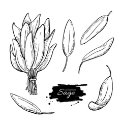 Sage drawing set Isolated sage plant with vector image