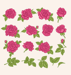 collection pink roses flowers leaves and buds vector image