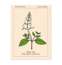 Java tea orthosiphon stamineus medicinal plant vector