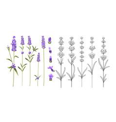 set lavender flowers elements vector image