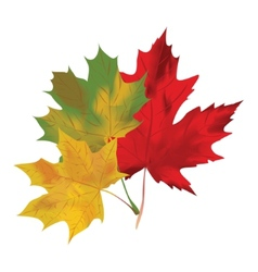 Autumn maple leaves on a white background Red vector image