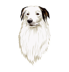 border collie head vector image