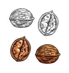 Walnut sketch whole nut nutshell and kernel vector